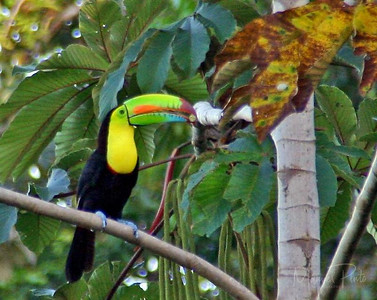 Keel-billed Toucan    Pteroglossus frantzii