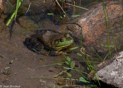 Autres grenouilles
