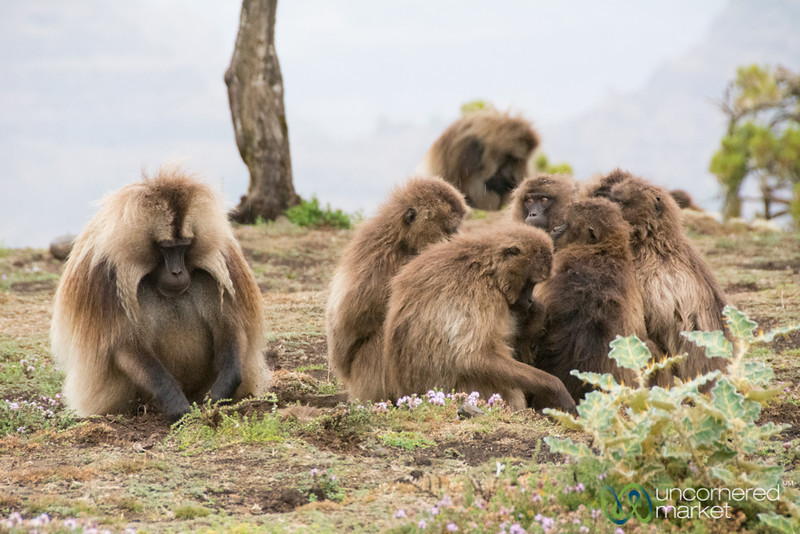 Gelada Baboons Looking for Roots - Simien Mountains, Ethiopia