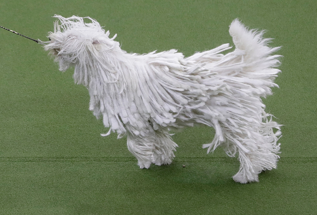. Betty, a komondor, competes with the working group during the 141st Westminster Kennel Club Dog Show on Tuesday, Feb. 14, 2017, in New York. (AP Photo/Frank Franklin II)