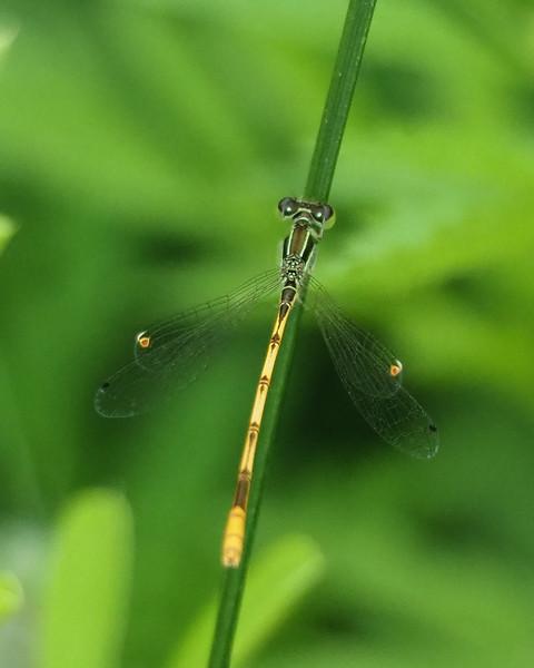 Citrine Forktail, male