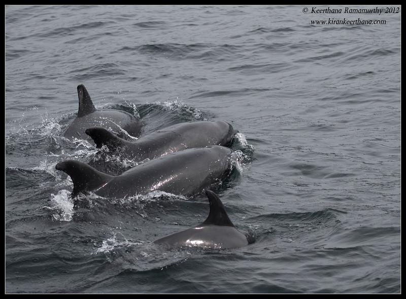 Common Dolphin pod, Dana Point Whale-watching trip, Orange County, California, January 2012