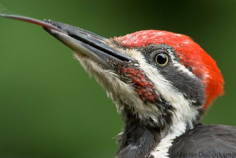 Pileated Woodpecker male, closeup with tongue showing.