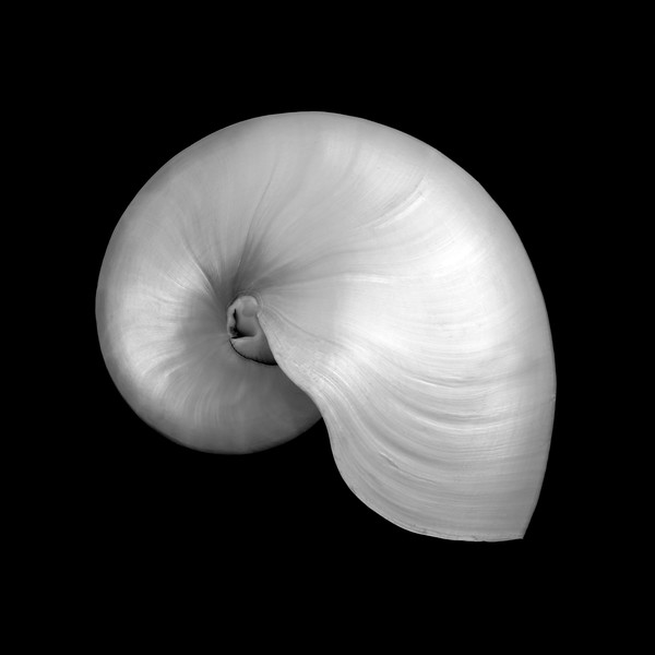 Polished Nautilus shell