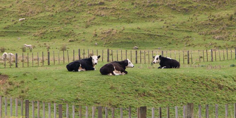 Cow conversation 5511p