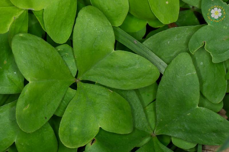 Oxalis à larges feuilles (Oxalis latifolia)