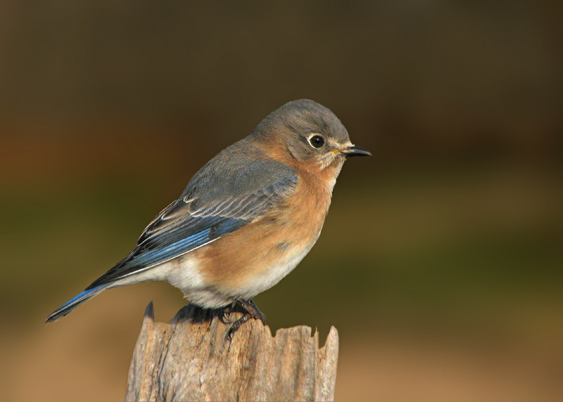 bluebird_2657.jpg