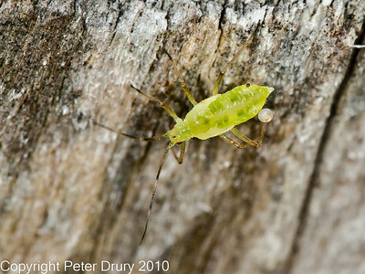 Aphid for ID
