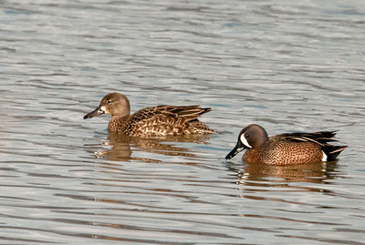 Duck - Blue-winged Teal