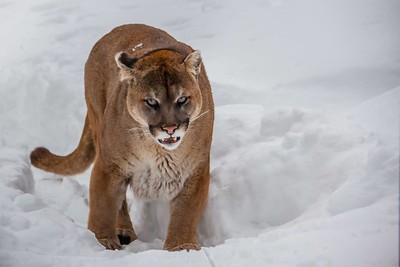 Cougar, Lynx.......Algonquin, Canada  2011