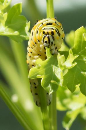 Egg Caterpillar Chrysalis