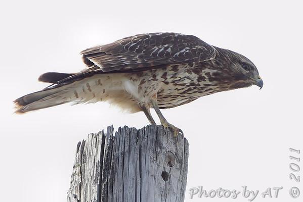 2011-11-16 Riverlands Migratory Bird Sanctuary