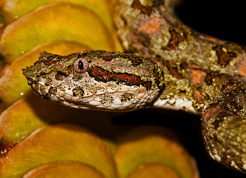 EYELASH VIPER 1 - EDITED-croppeed.jpg