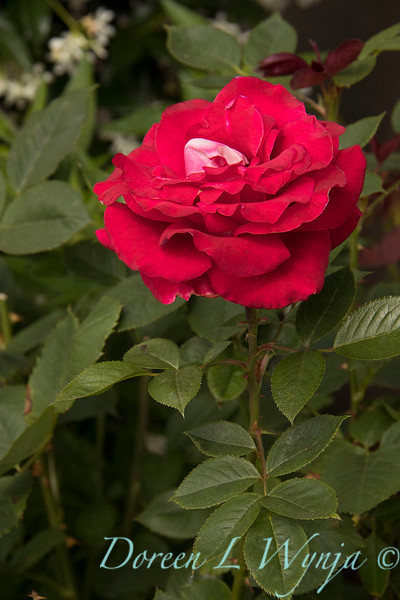 Rosa 04-00578 0r 06-02042_4730.jpg