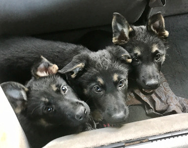 2021 German Shepherd pups