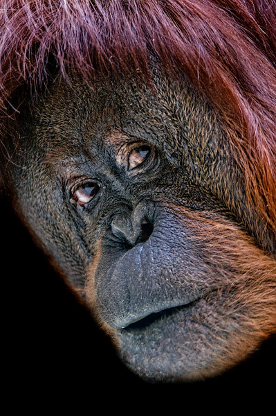 Orangutan face close-up