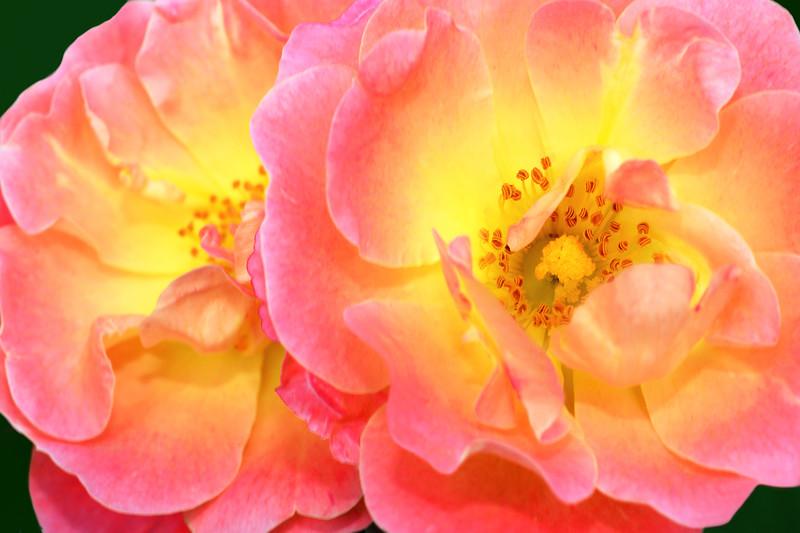 Peach Drift Roses