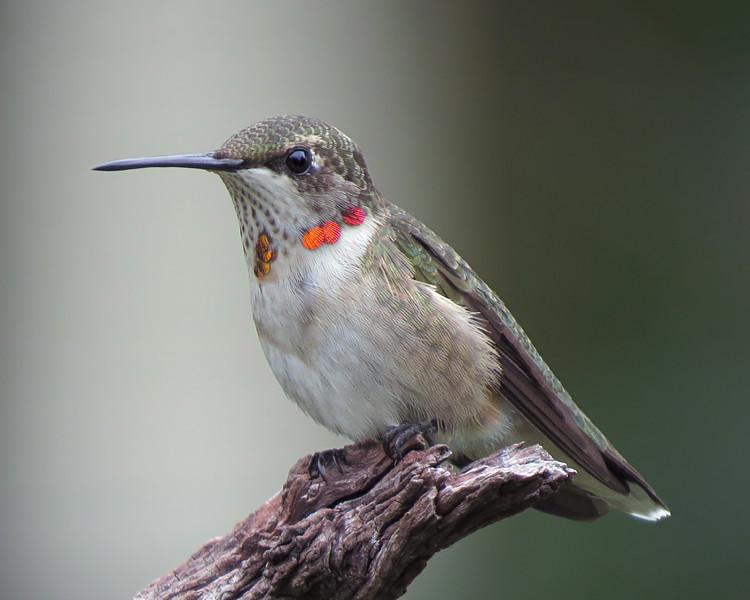 sx50_hummingbird_boas_1285.jpg