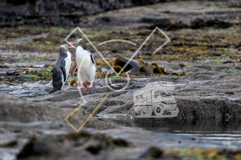 A couple of the rare endangered yellow-eyed penguin, also called hoiho, heading out to the sea, over the petrified forest of Curio Bay in the south of New Zealands area named  the Catlins.