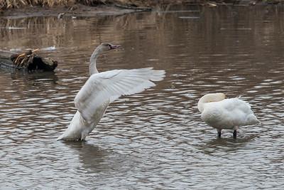 Dec. 13, 2015 - Tundra Swans