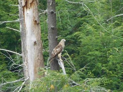 Hawk in August