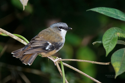Grey-headed Robin (Heteromyias cinereifrons)