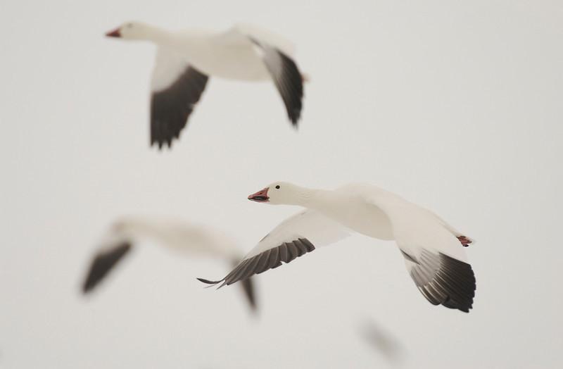 Snow Geese In-Flight In Snow 0406166
