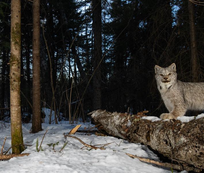 Lynx Kitten crop-0718.jpg