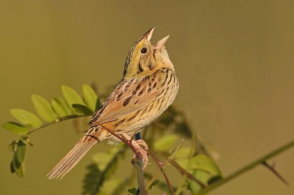 Sparrows(Emberizidae)