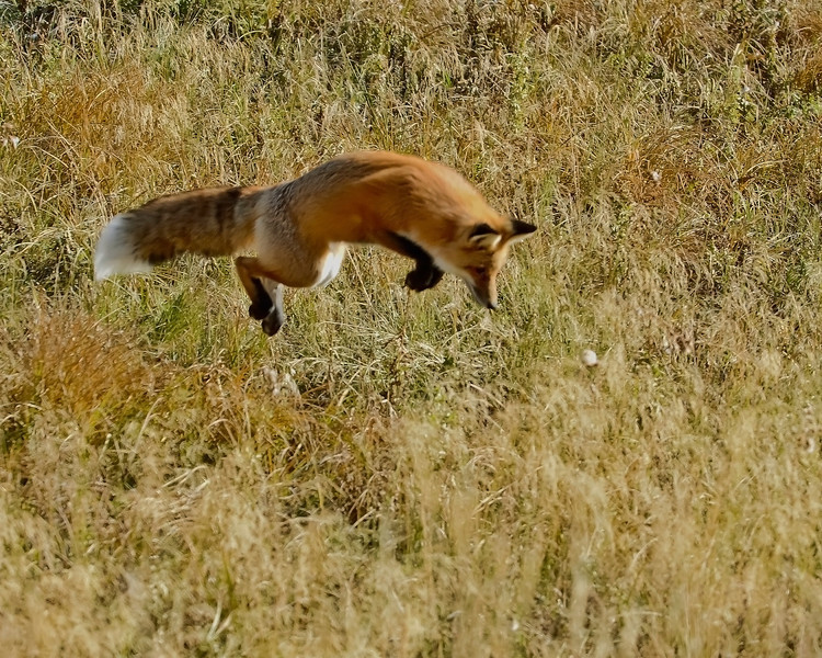 Red Fox 1, Jump Two.jpg