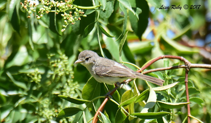 Least Bell's Vireo (not sure if this is juvenile or adult, think juvenile)  - 6/14/2017 - Lake Hodges Bernardo Bay Trail