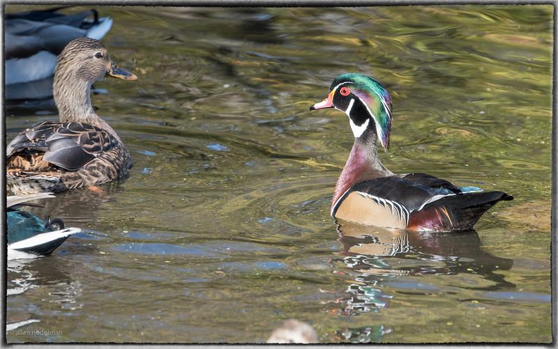 Mud Lake Wood Duck