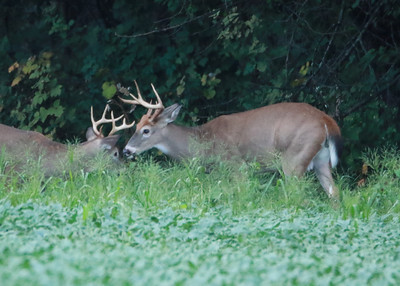 Antler Growth & Behaviors