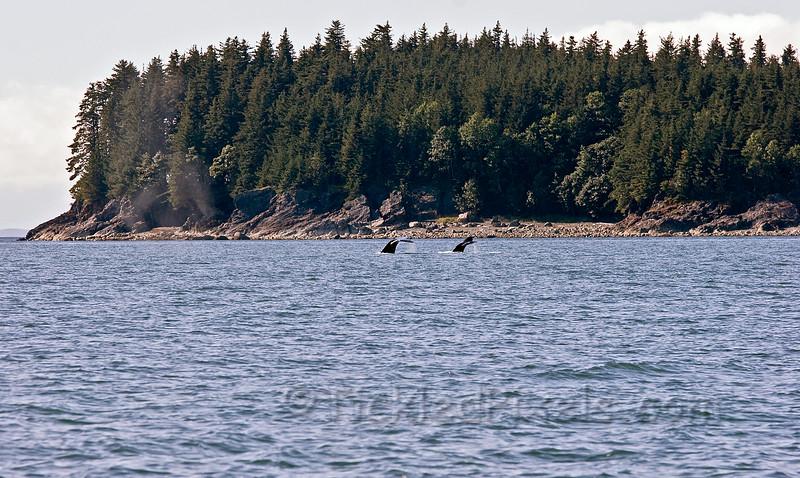 Humpbacks in Saginaw Channel
