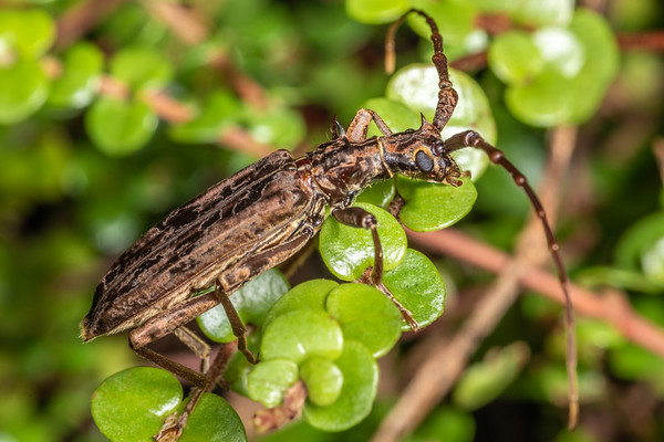 Blosyropus spinosus - Spiny longhorn