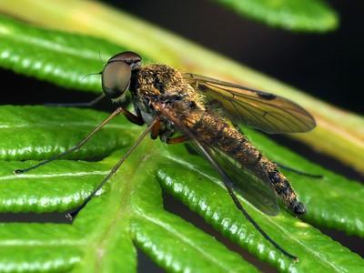 Rhagionidae - Snipe Flies