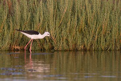 Black-winged Stilt (Cigüeñuela)