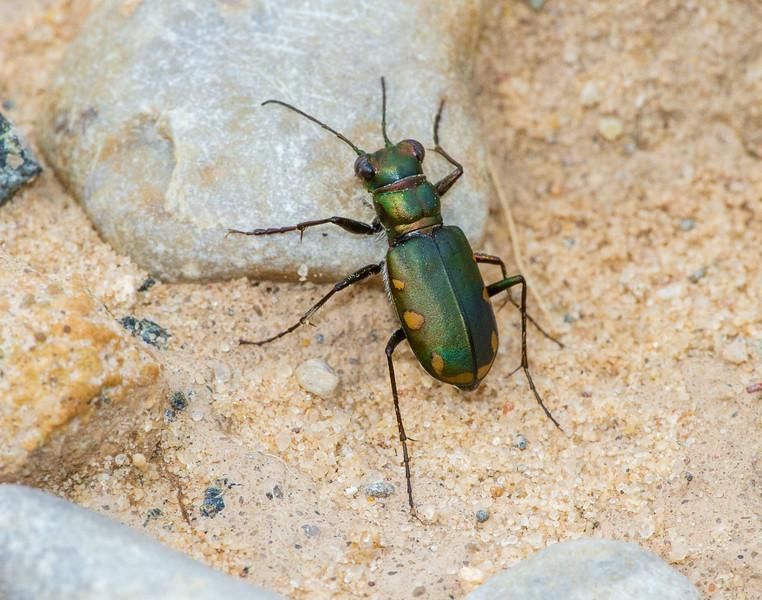 Cicindela scutellaris subspecies Lecontei Festive Tiger Beetle Sauk Prairie Recreation Area WI IMG_0389.jpg