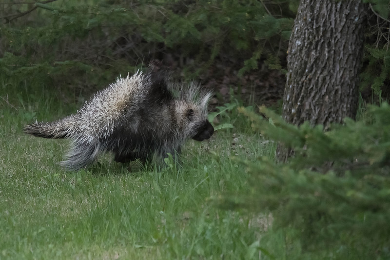 Porcupine 5.jpg