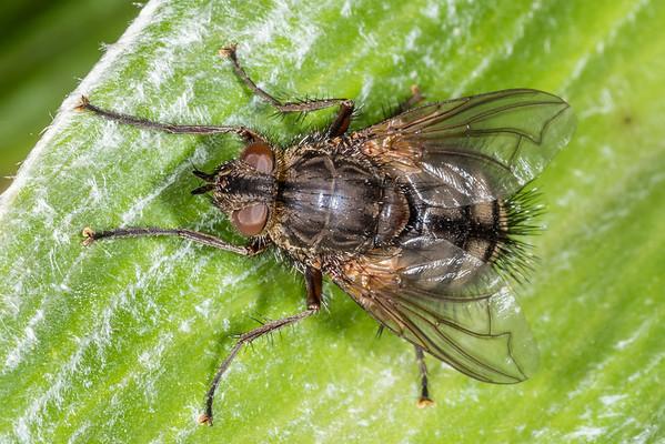Tachinids (Tachinidae)