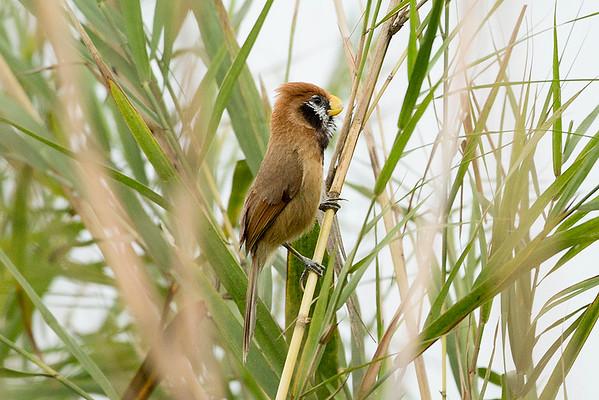 201 Paradoxornithidae - Parrotbills & Allies