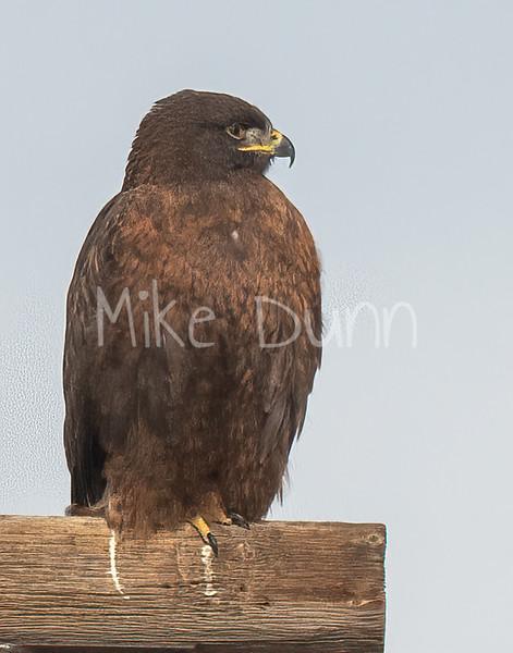 Ferruginous Hawk-197