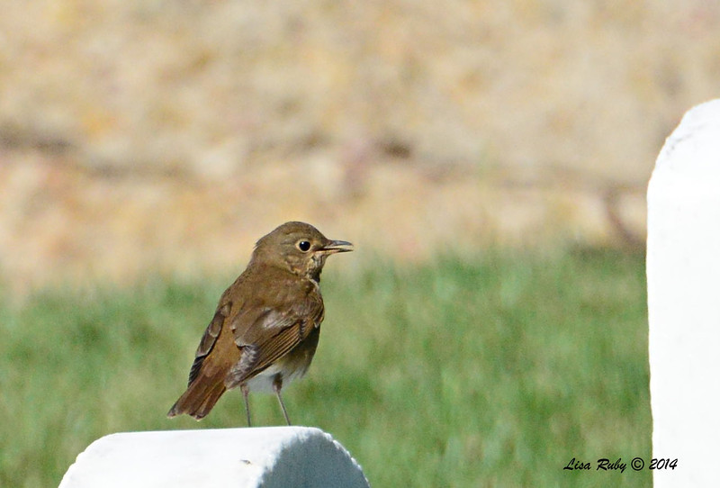 Swainson's Thrush - 5/4/2014 - Fort Rosecrans National Cemetery