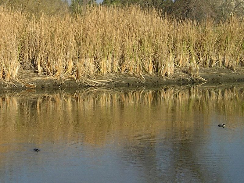 Two coots hanging out in the water below the rushes.