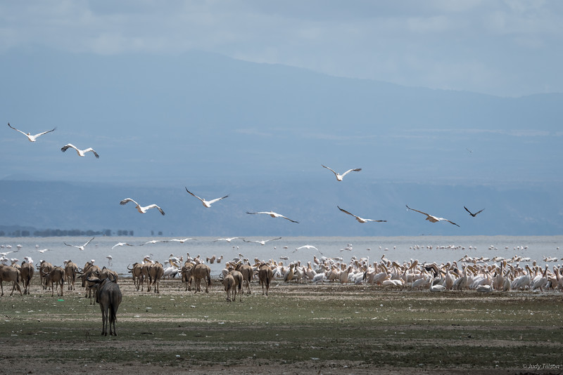 Lake Manyara African white pelicans and flamingoes-2343.jpg