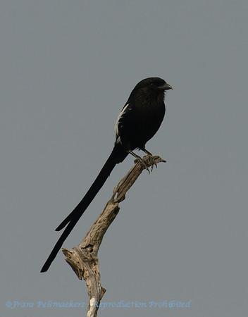 Eksterklauwier; Magpie shrike; Urolestes melanoleucus; African longtailed shrike; Langstertlaksman; Corvinelle noir et blanc; Elsterwürger