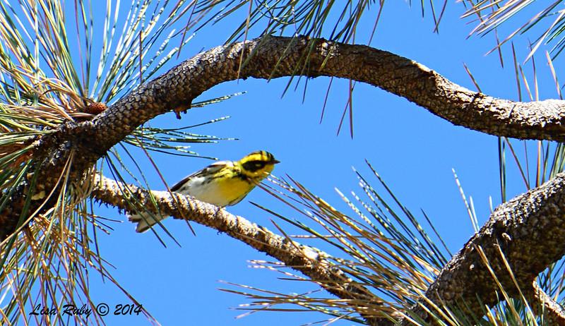 Townsend's Warbler - 10/12/2014 - Lake Cuyamaca