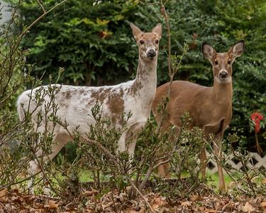 Deer / Piebald Deer