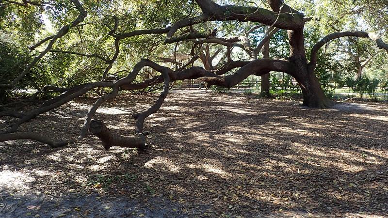 Large live oak