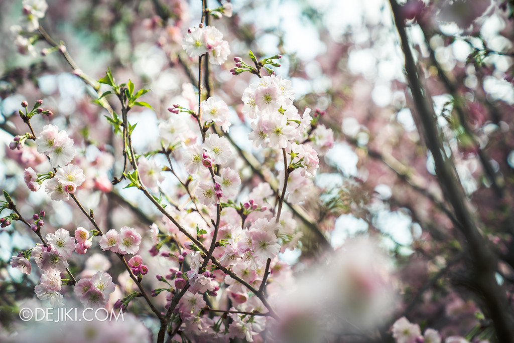 Gardens by the Bay - Sakura Matsuri 2018 floral display - Sakura bokeh
